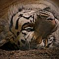 Tiger by Marcie Glass