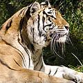 Tiger Observations by LeeAnn McLaneGoetz McLaneGoetzStudioLLCcom