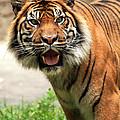 Tiger On The Prowl by Vic Sharratt