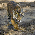 Tiger Panthera Tigris Cub, Native by Zssd