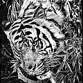 Tiger by Perla Copernik