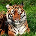 Tiger Sitting In The Grass by Bill Dodsworth