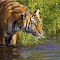 Tiger Standing In Water by John Pitcher