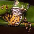 Tiger-stripe Monkey Frog by Dante Fenolio