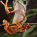 Tiger Striped Leaf Frog Waving by Claus Meyer