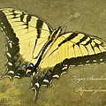 Tiger Swallowtail Butterfly - Papilio Glaucas by Mother Nature