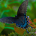 Tiger Swallowtail Butterfly Female by Stephen Whalen