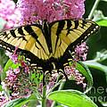 Tiger Swallowtail Butterfly by Randi Shenkman