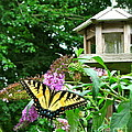 Tiger Swallowtail By The Bird Feeder  by Nancy Patterson