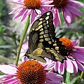 Tiger Swallowtail by Linda Francis