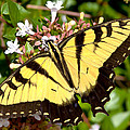 Tiger Swallowtail by Lynne Jenkins