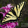Tiger Swallowtail On Pink Hyacinth by Jim And Emily Bush