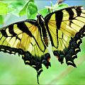 Tiger Swallowtail  by Saija  Lehtonen
