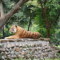 Tiger Tiger Burning Bright by Profulla Robert