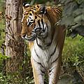 Tiger Walking by Denise Swanson