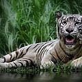 Tiger White by Kym Clarke