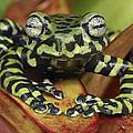 Tigers Treefrog Hyloscirtus Tigrinus by Thomas Marent