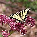 Tigertale Butterfly by Rima Geleziunas