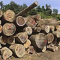Timber At A Logging Area, Danum Valley by Thomas Marent