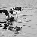 Time For Sushi In Black And White by Suzanne Gaff