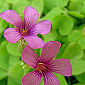 Tiny Flowers In The Clover by Debbie Portwood