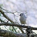 Titmouse by Lonna Ours