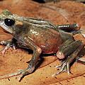 Toad Atelopus Senex On A Leaf by Michael & Patricia Fogden