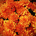 Toasted Orange Chrysanthemums by Mother Nature
