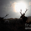 Tomales Bay California Tule Elks At Sunrise . 7d4402 by Wingsdomain Art and Photography