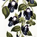 Torenia Asiatica Pulcherrima by Louis van Houtte