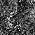 Torrey Pine Cones In Black And White by Charles Robinson