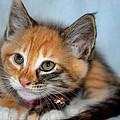 Tortoiseshell Kitten by Tikvah's Hope