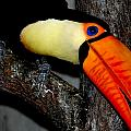 Toucan Sam by Christy Phillips