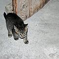 Tough Barn Kitten by LeeAnn McLaneGoetz McLaneGoetzStudioLLCcom