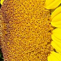 Sunflower -tournesol - Flower by Francoise Leandre