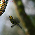 Townsend Warbler In Flight by Kym Backland