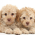 Toy Labradoodle Puppies by Mark Taylor