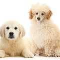Toy Poodle And Golden Retriever by Mark Taylor
