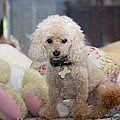 Toy Poodle by Diana Haronis