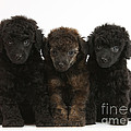 Toy Poodle Pups by Mark Taylor
