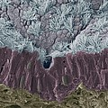 Trachea Mucous Membrane, Sem by Steve Gschmeissner