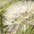 Tragopogon Dubius - Yellow Goats Beard by Mother Nature