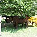 Transportation. Colonial Williamsburg. Virginia by Ausra Huntington nee Paulauskaite