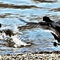 Travelin Coots by Don Mann