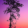 Tree At Twilight by Judi Bagwell