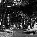 Tree Canopy Promenade Road Drive . 7d9977 . Black And White by Wingsdomain Art and Photography