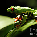 Tree Frog 13 by Bob Christopher