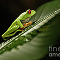 Tree Frog 2 by Bob Christopher