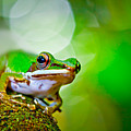 Tree Frog by Albert Tan photo