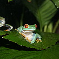 Tree Frog by David Dinsdale